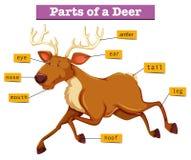 Diagrama que mostra partes dos cervos ilustração royalty free