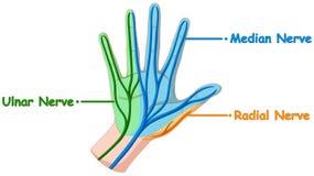 Diagrama que muestra el nervio de la mano Fotos de archivo libres de regalías