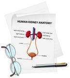 Diagrama que muestra la anatomía humana del riñón en el papel Foto de archivo libre de regalías