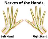 Diagrama que muestra los nervios de las manos stock de ilustración
