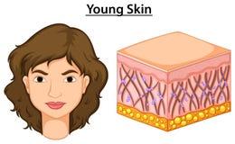Diagramm, das junge Haut im Menschen zeigt stock abbildung