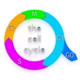 Diagramm des Zellzyklus Stockbild