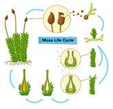 Diagramma che mostra il ciclo di vita del muschio illustrazione vettoriale