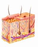 Diagramma completo della sezione della pelle umana. Immagine Stock