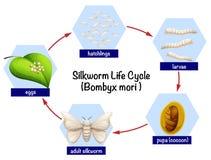 Diagramma del ciclo di vita del baco da seta illustrazione vettoriale