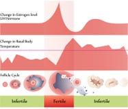 Diagramma di ovulazione Immagine Stock