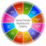 Diagramma di sistemi riproduttivi femminile umano royalty illustrazione gratis