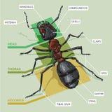 Diagramma di una formica Immagini Stock Libere da Diritti