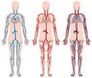Diagramma differente dei vasi sanguigni in essere umano illustrazione vettoriale