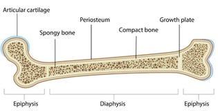 Diagramma identificato anatomia dell'osso Immagine Stock Libera da Diritti