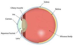 Diagramma identificato sezione trasversale dell'occhio Immagini Stock Libere da Diritti