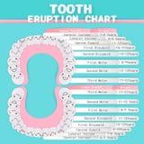 Diagramme d'éruption de dent Photo libre de droits