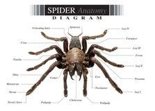 Diagramme d'araignée image libre de droits