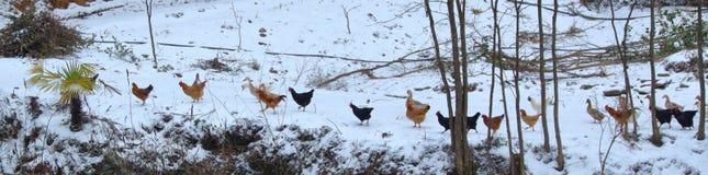 Diagramme de poulet images libres de droits
