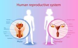 Diagramme scientifique de vecteur d'appareil reproducteur humain illustration de vecteur