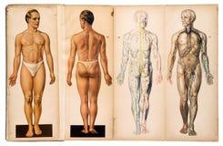 Diagrammes médicaux masculins d'anatomie de vieux vintage photos stock