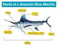Diagramvisningdelar av den atlantiska blåa marlinen stock illustrationer