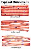 Diagramvisningtyper av muskelceller vektor illustrationer