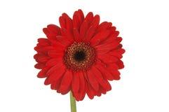 diaisy красный цвет gerber Стоковая Фотография