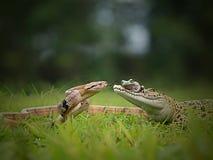 Dialogschlange, Frosch und das Krokodil lizenzfreie stockbilder