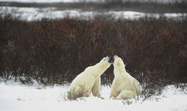 Dialogue of polar bears Stock Image