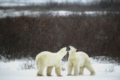 Dialogue of polar bears Royalty Free Stock Photography