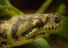 Diamant-python Stock Afbeeldingen