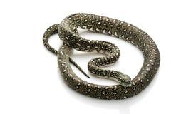 Diamant-Pythonschlange stockbilder