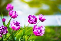 Diamante azul de muchos tulipanes en el jardín de la primavera Macro, foco selectivo, imagen entonada imagen de archivo