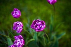 Diamante púrpura del azul del tulipán Paisaje del resorte fotos de archivo libres de regalías