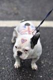 Diamanten jubileum: Hond Stock Foto