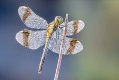 Diamanti della libellula Fotografia Stock Libera da Diritti