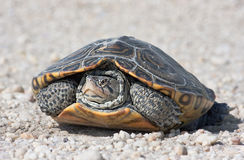 Diamantmarkierung-Dosenschildkröte Stockfotografie