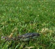 Diamantpythonschlange, die durch das Gras in einem Hinterhof von Australien gleitet stockfoto