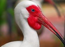 Diami una frittura: Ibis affamato Fotografia Stock