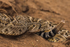 Diamonback Rattler Coiled Royalty Free Stock Image