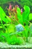 Diamond angel fish aquarium Stock Photo