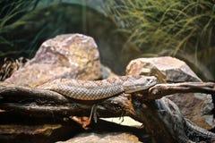 Diamond Back rattle snake. White colored western diamond back rattle snake slithers through the Stock Image