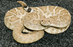 Diamond back rattlesnake stock photo