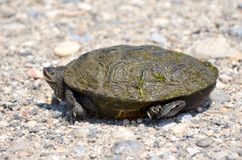 Diamond Backed Terrapin Royalty Free Stock Images