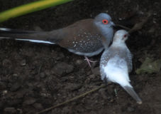 Diamond dove couple. Two diamond dove sitting on the ground.  Foto taken in landgoed hoenderdeall Royalty Free Stock Photography