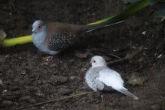 Diamond dove couple. Two diamond dove sitting on the ground.  Foto taken in landgoed hoenderdeall Stock Photos