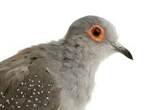Diamond Dove - Geopelia cuneata Royalty Free Stock Photos