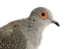 Diamond Dove - Geopelia cuneata royalty free stock photos