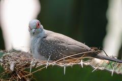 Diamond dove (Geopelia cuneata). A diamond dove (Geopelia cuneata) sitting in its nest Royalty Free Stock Photo
