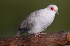 Diamond Dove Portrait Arkivbilder