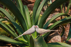 Diamond doves. A couple of diamond doves (Geopelia cuneata) sitting on a leaf Stock Photography