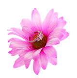 Diamond engagement ring in hot pink chamomile flower isolated Royalty Free Stock Photo