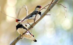Diamond Firetail Bird. The Diamond Firetail is a brightly coloured finch that occupies eucalypt woodlands, forests and mallee where there is a grassy understorey stock photography