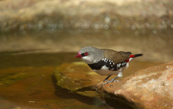Diamond firetail finch bird Stock Images